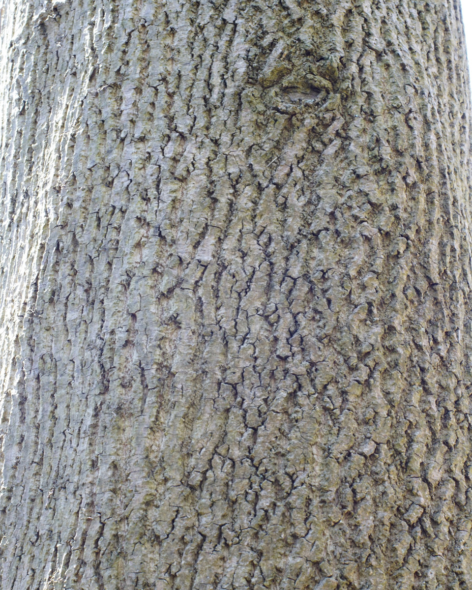 Yellow Tulip Poplar Tree Bark
