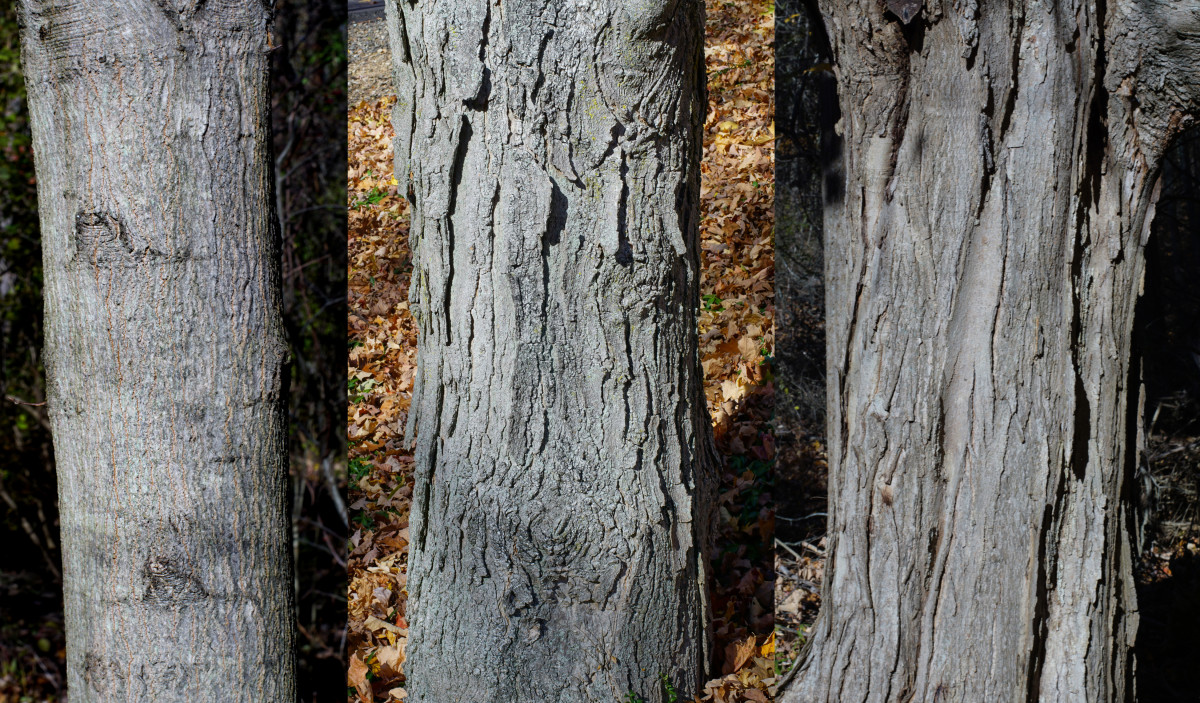 Sugar Maple Tree Bark (Youngest to Oldest)