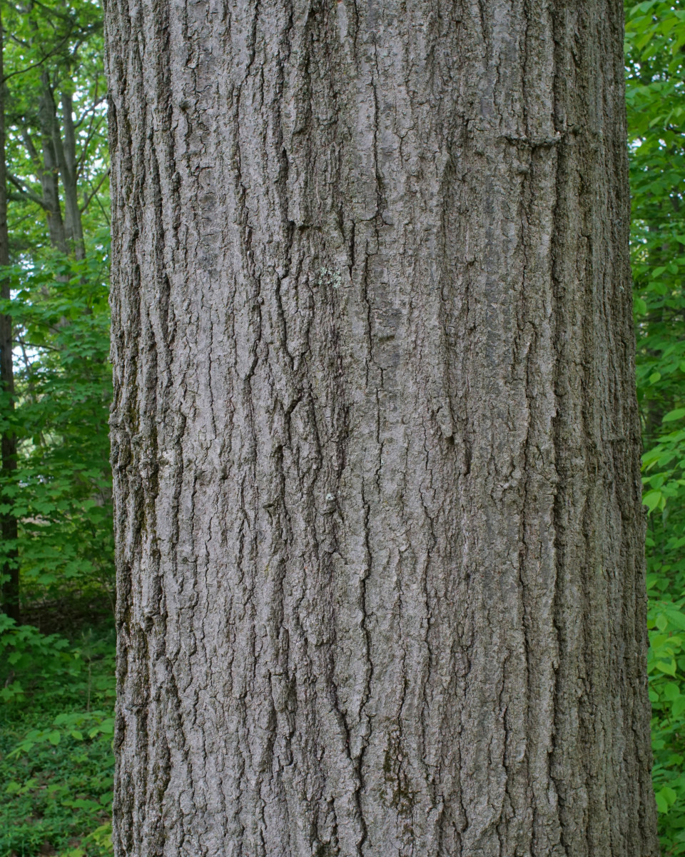 Black Oak Tree Bark