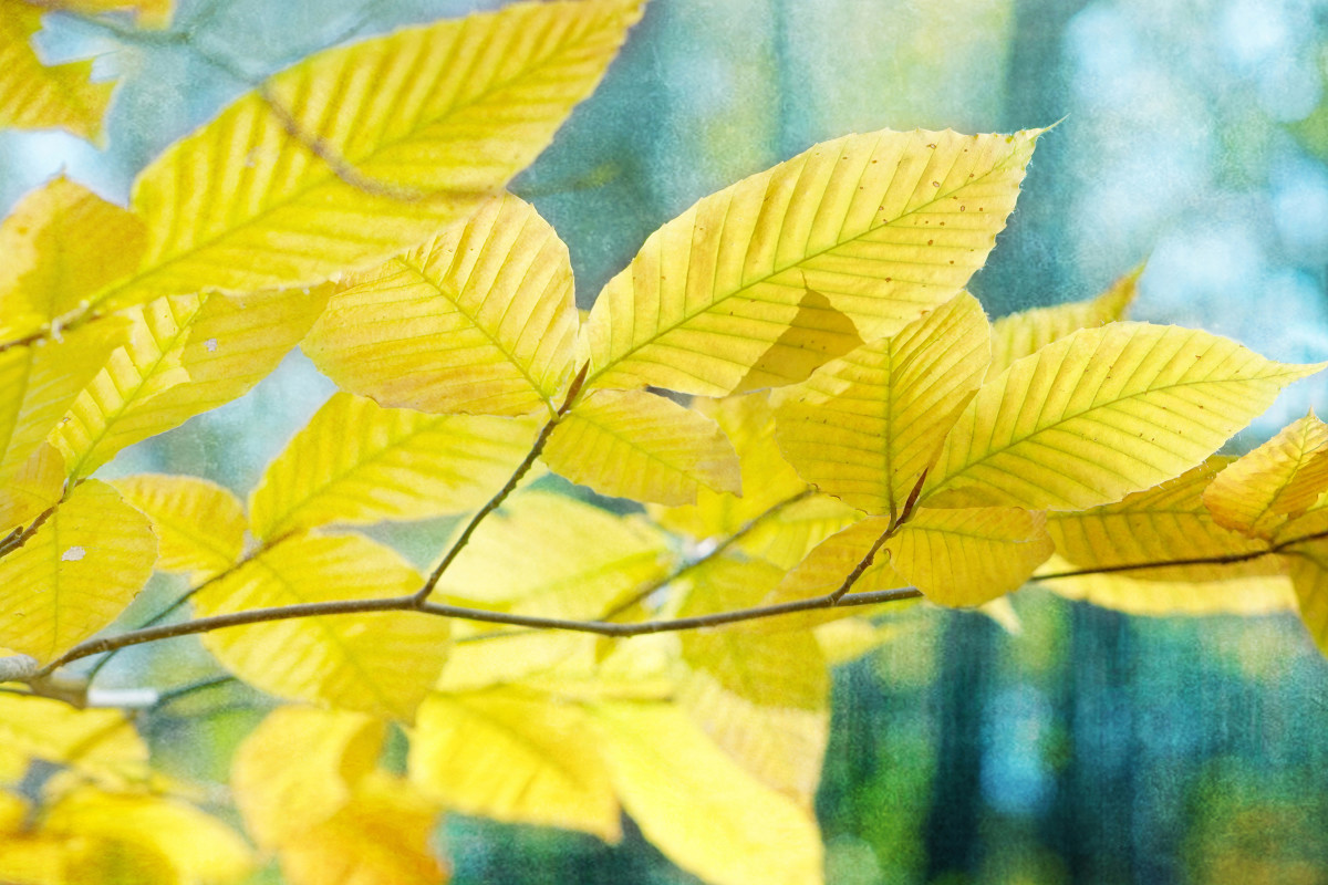 American Beech Tree Leaves Autumn Color