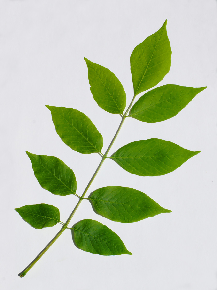 White Ash Tree Compound Leaf