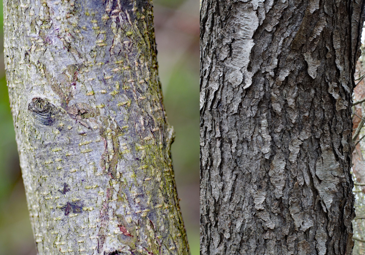 LEFT: Young Black Cherry Bark RIGHT: Mature Black Cherry Bark