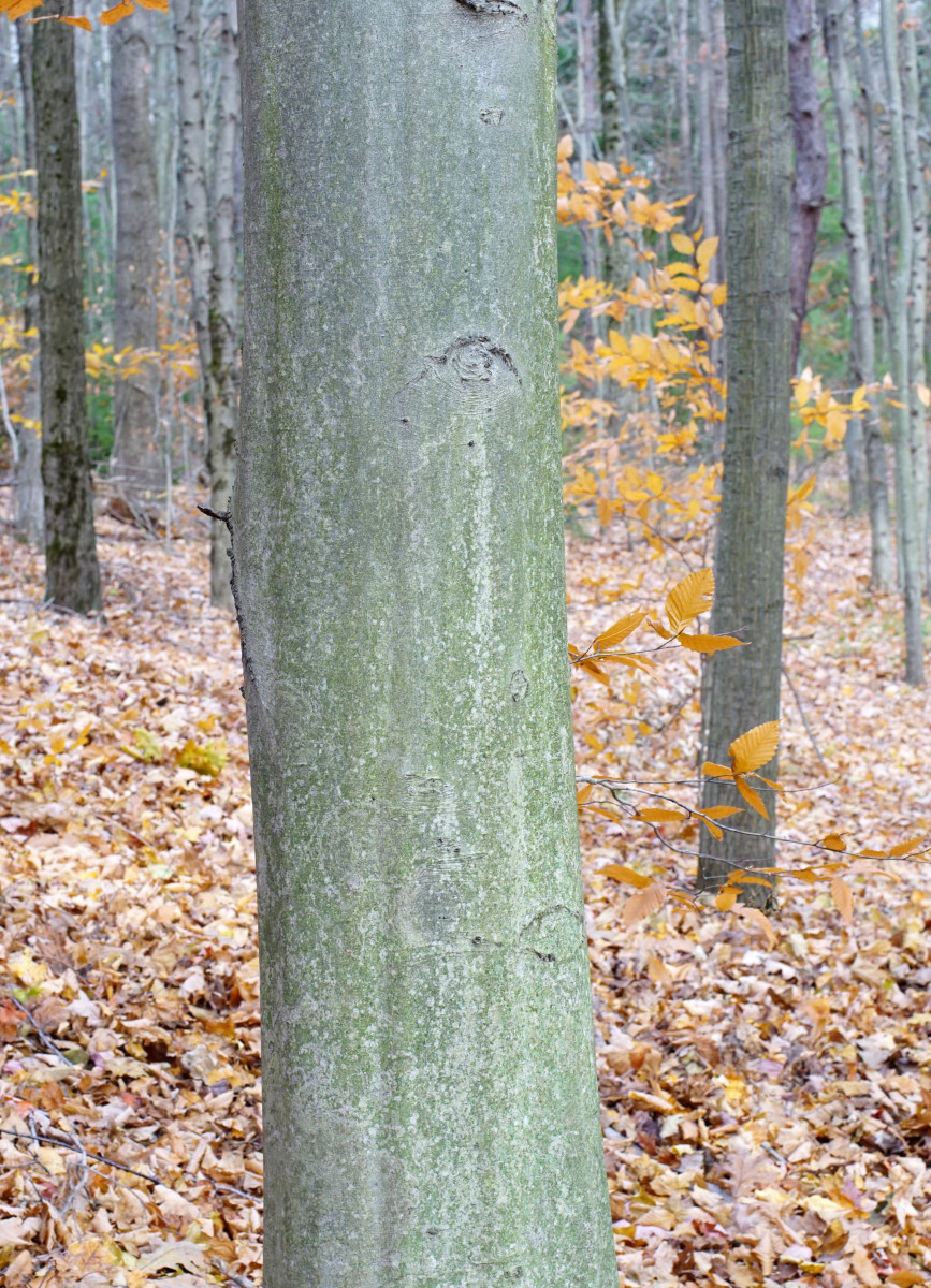 American Beech Tree Bark
