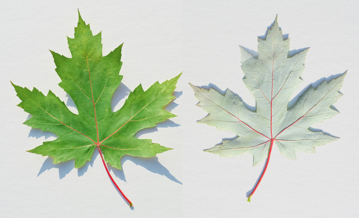 Silver Maple Tree Leaves