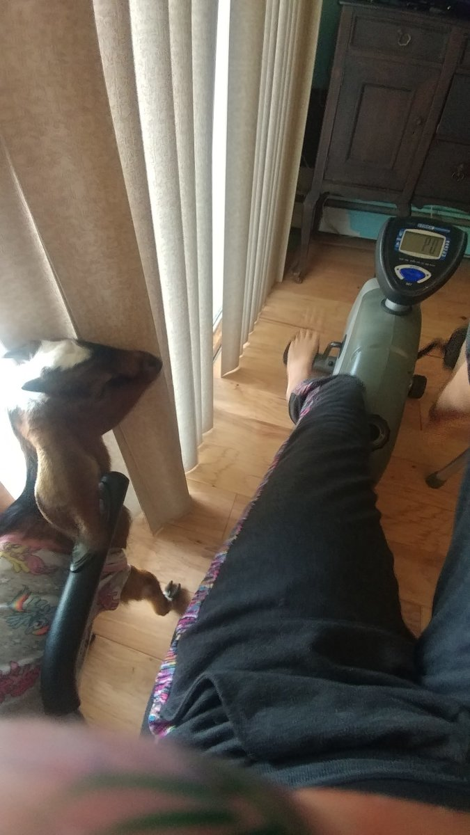 Working on the recumbent bike at home with my emotional support goat!
