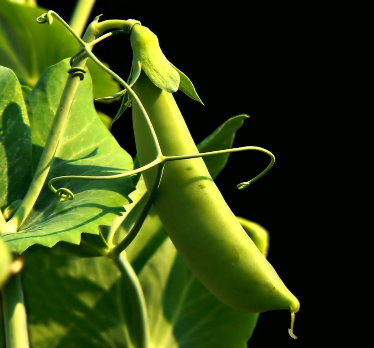 legume-protein-powders