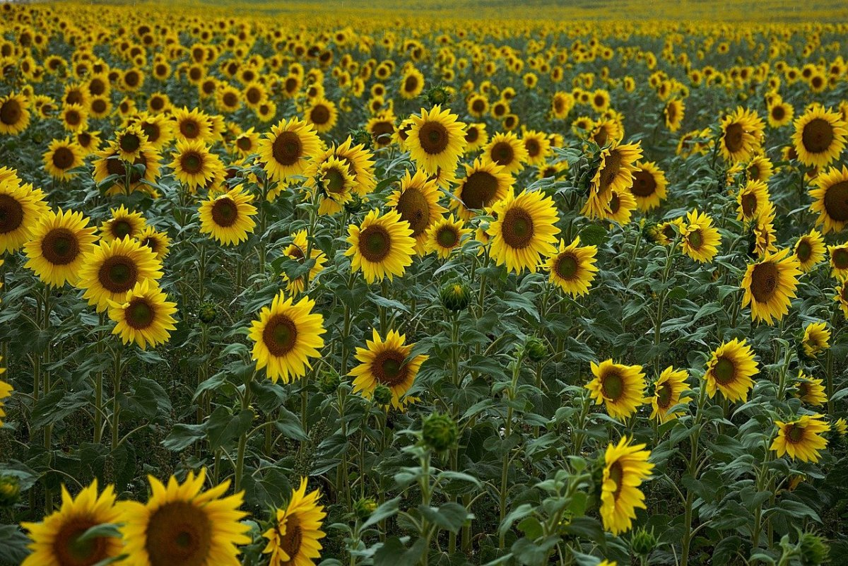 Sunflowers: Image by Hans Linde from Pixabay