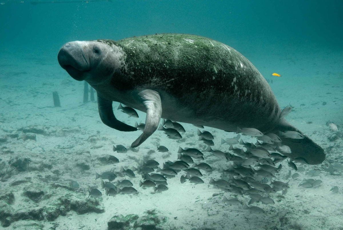 Manatee: Image by PublicDomainImages from Pixabay
