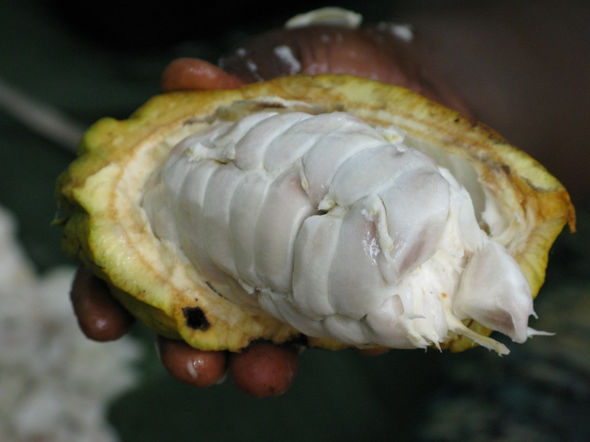 A cacao pod straight from the tree. The white centre holds the seeds.