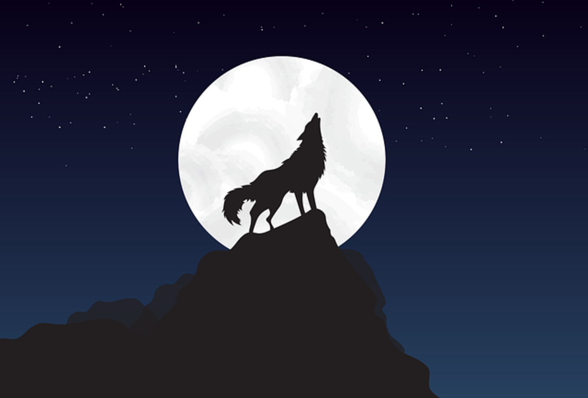 gray-wolf-facts-wildlife