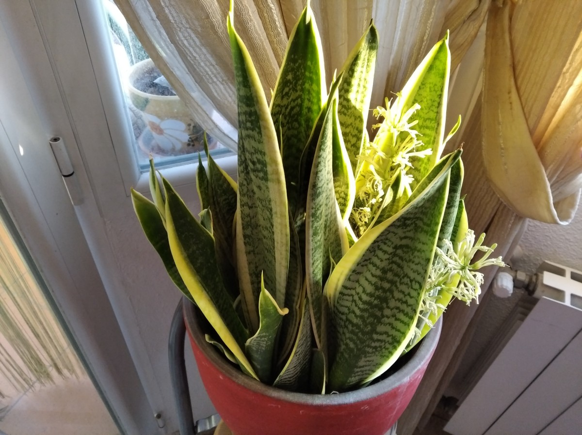 How To Get a Snake Plant to Flower Fast