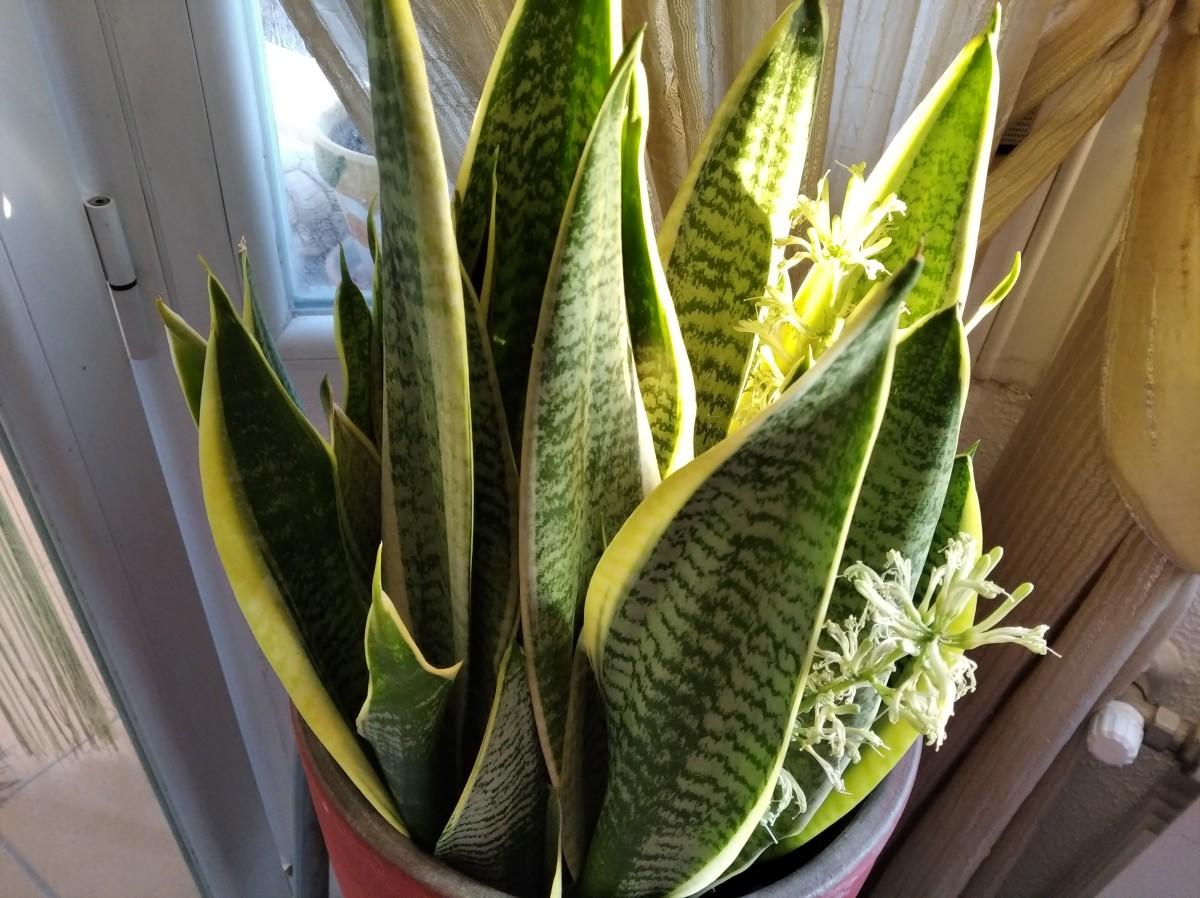 Flowering Snake Plant
