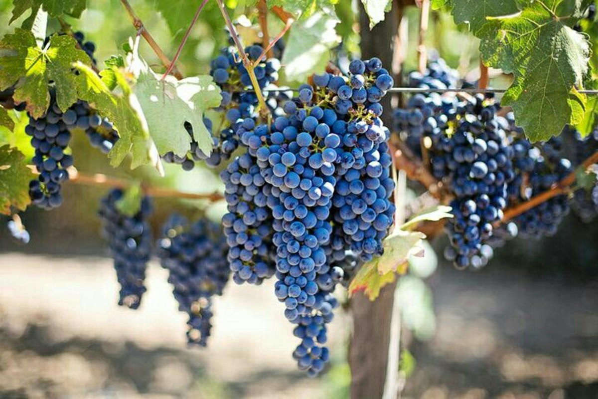 grapes-health-benefits-nutrition-facts