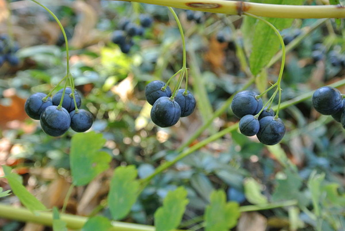 The berries appear in the fall and are an important food source for birds.