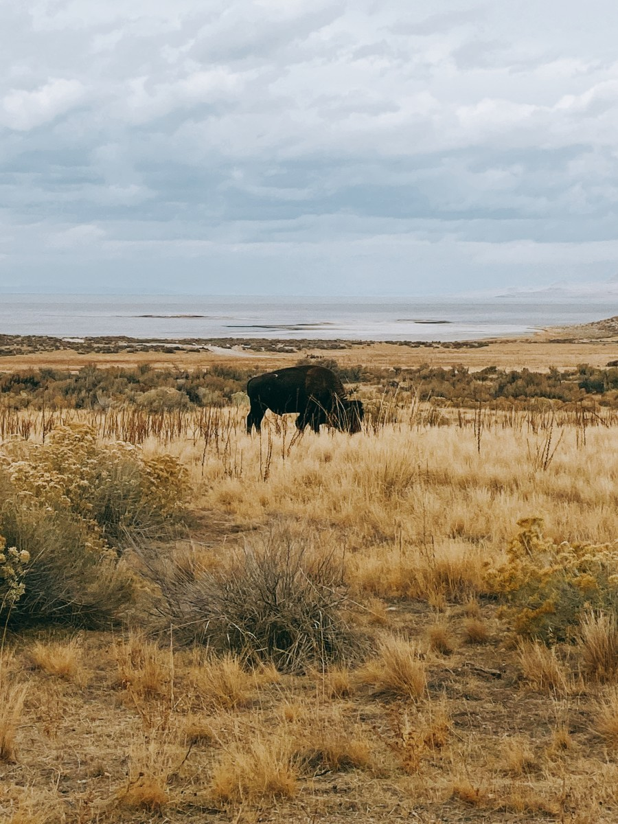 We spotted this huge bison in a field.