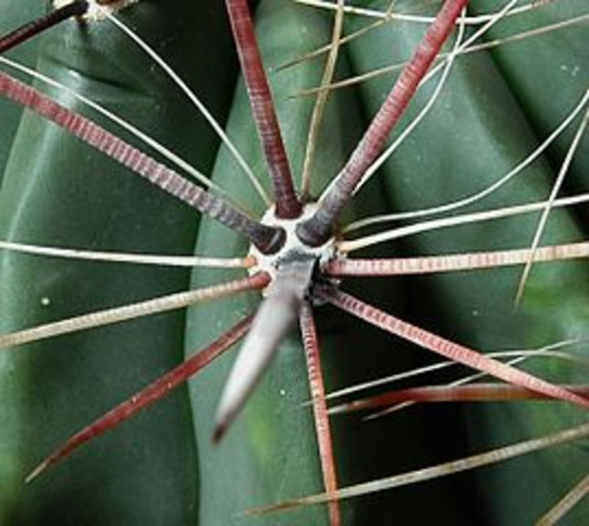 Spines Originating from Areole