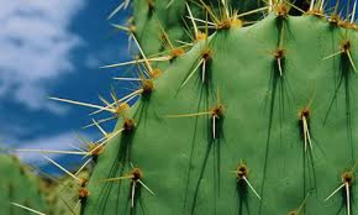 Spines locate the nodes and inter-nodes of Cactus Stem