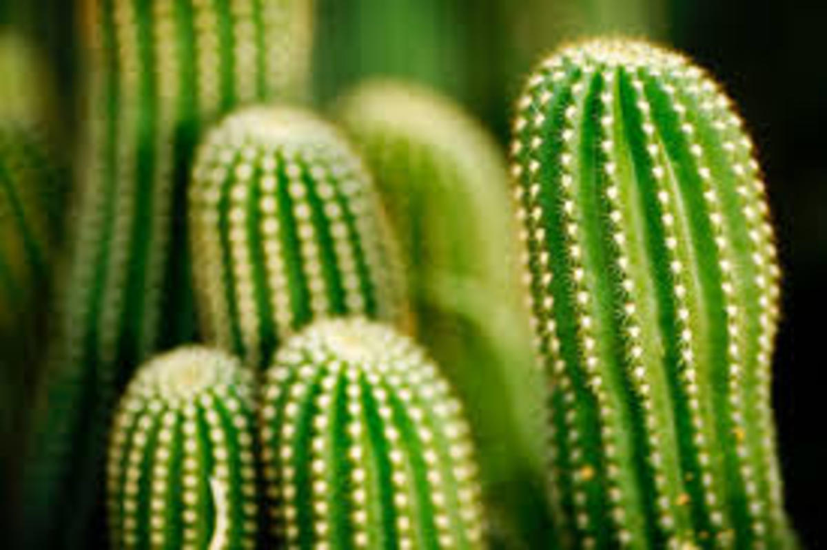 Ribbed and Barrel Shaped Cactus Stem