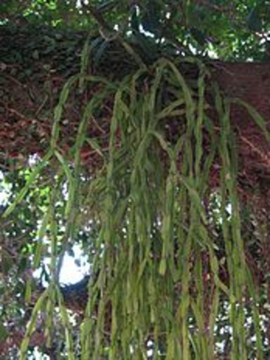 Epiphytic Cactus
