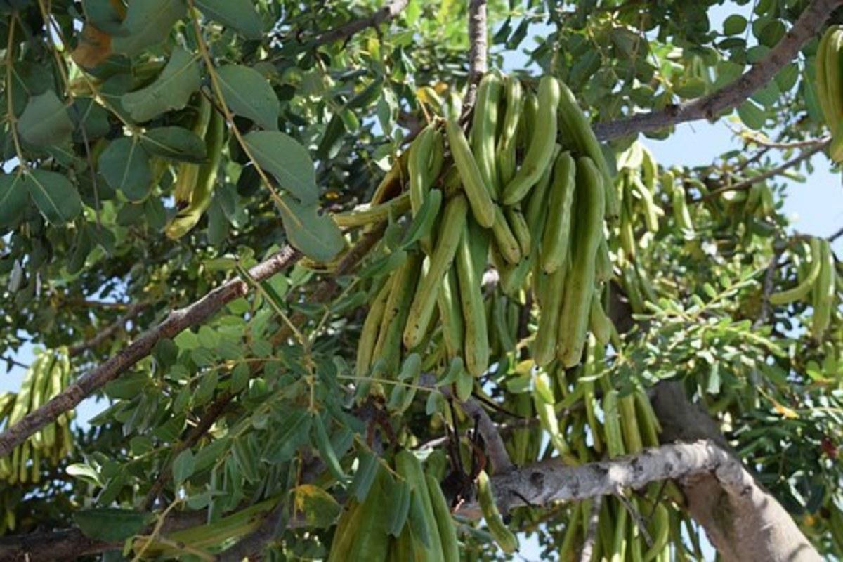 benefits-of-carob-fruit