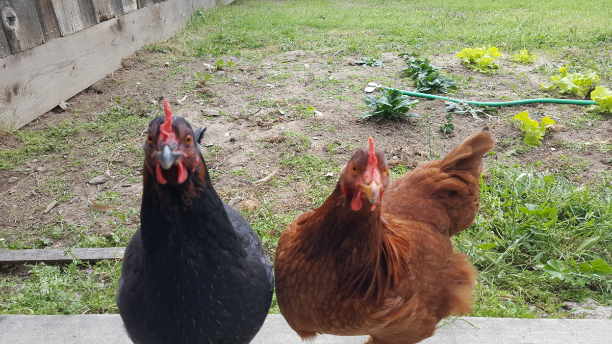 Two of my four chickens