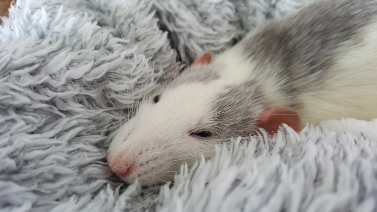 One of my rats, Chadwick