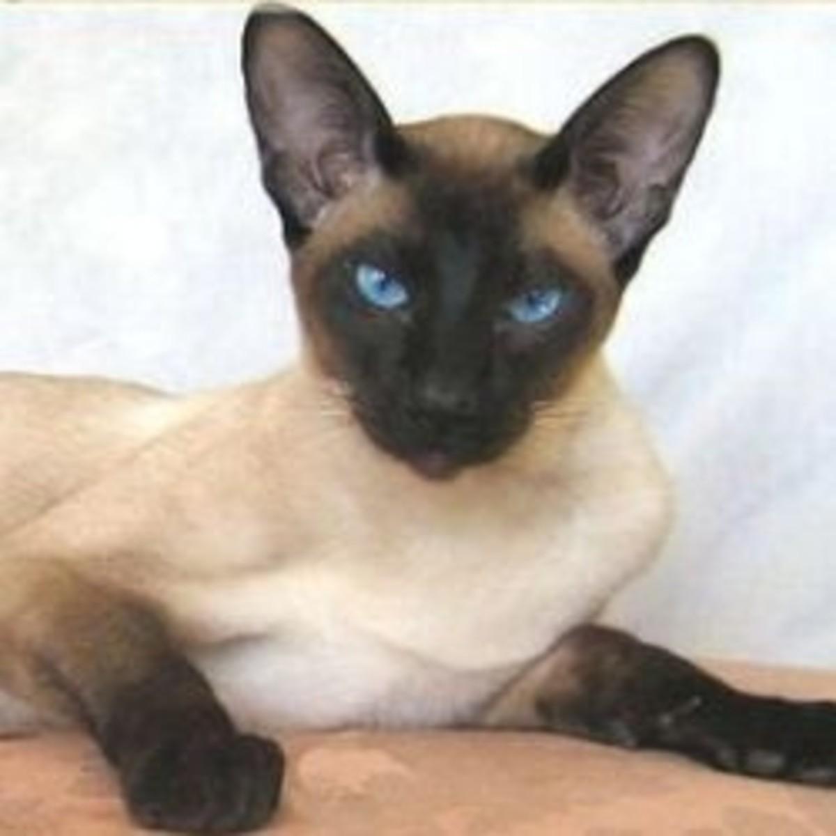 Suave, sophisticated Siamese cat