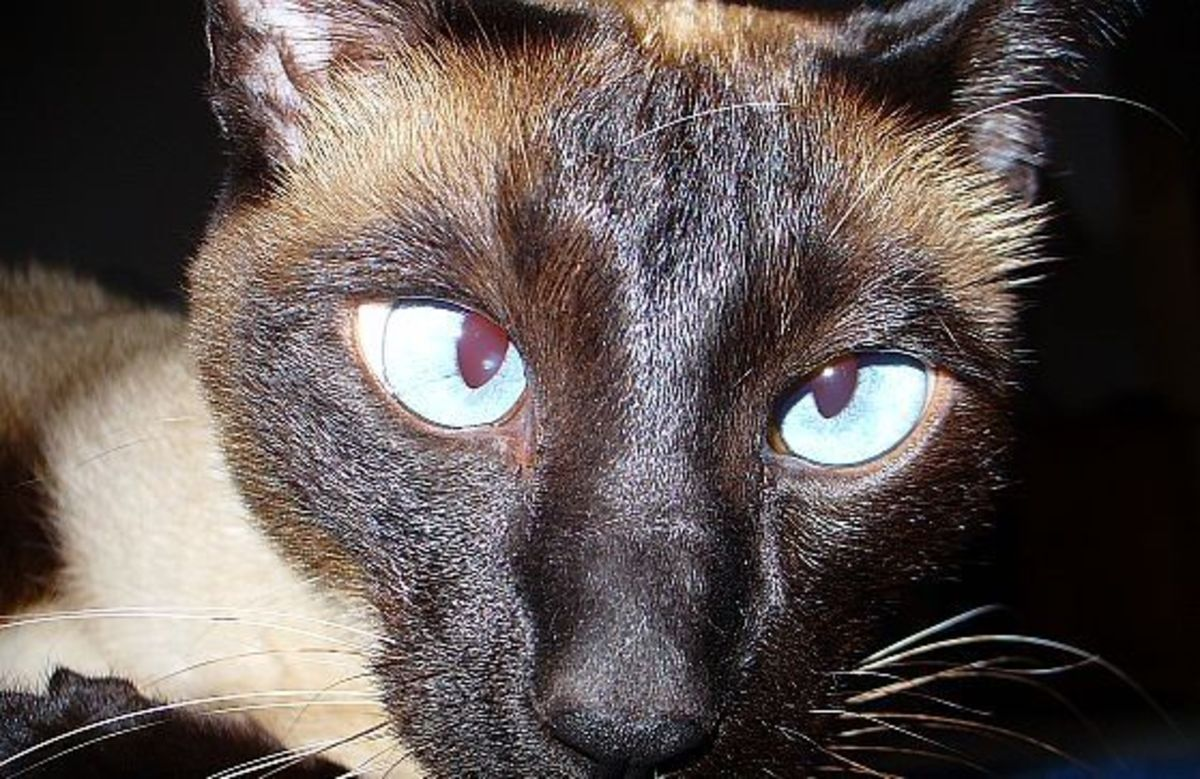 Not all Siamese have crossed eyes
