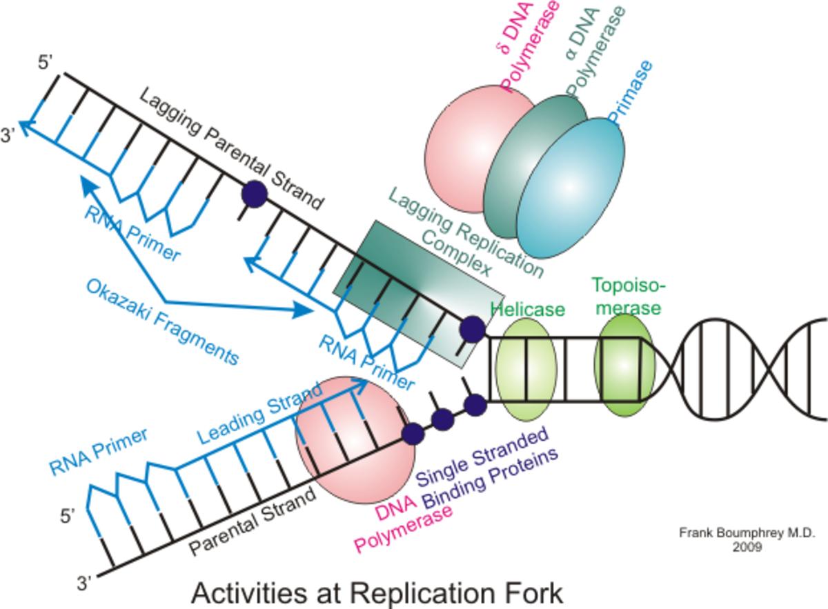 dna-replication-the-basics