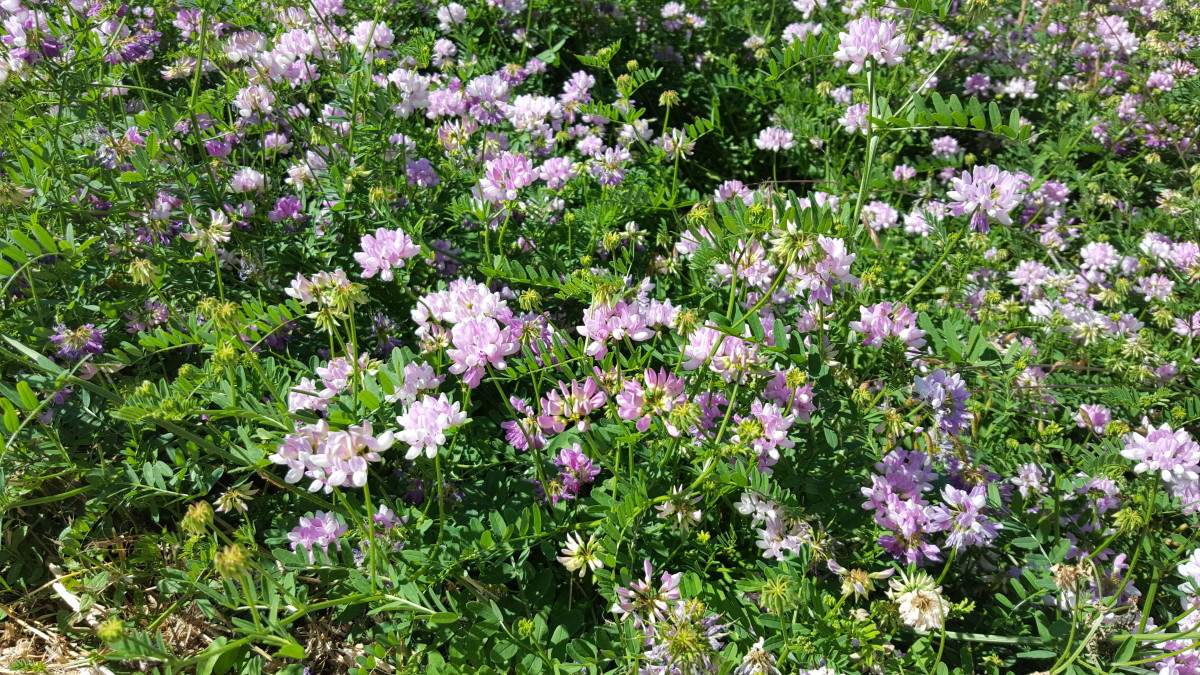Crown Vetch, a Wild Flower That Can Be Used for Erosion Control