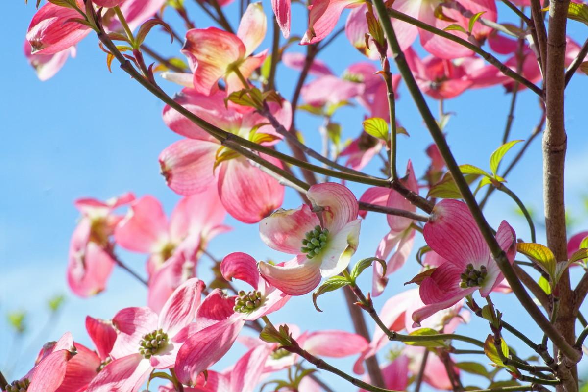 Flowering Dogwood Tree Flowering Branches