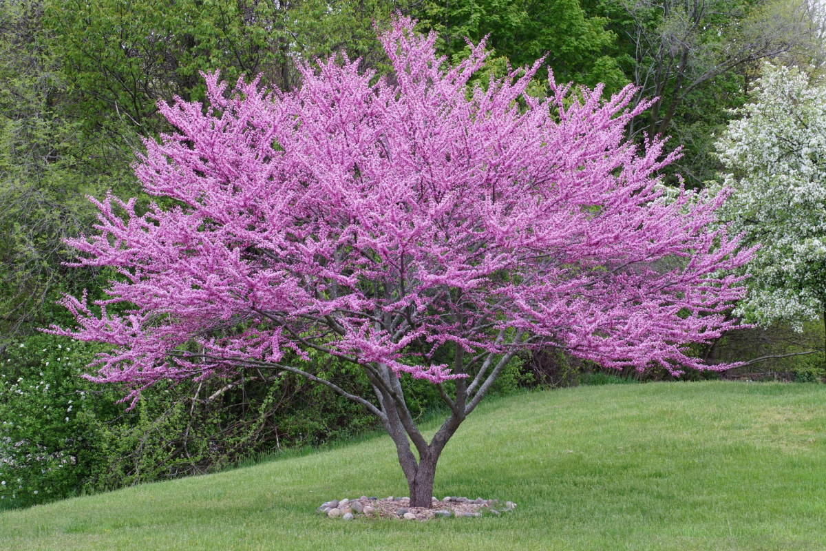 Redbud Tree in Full Bloom