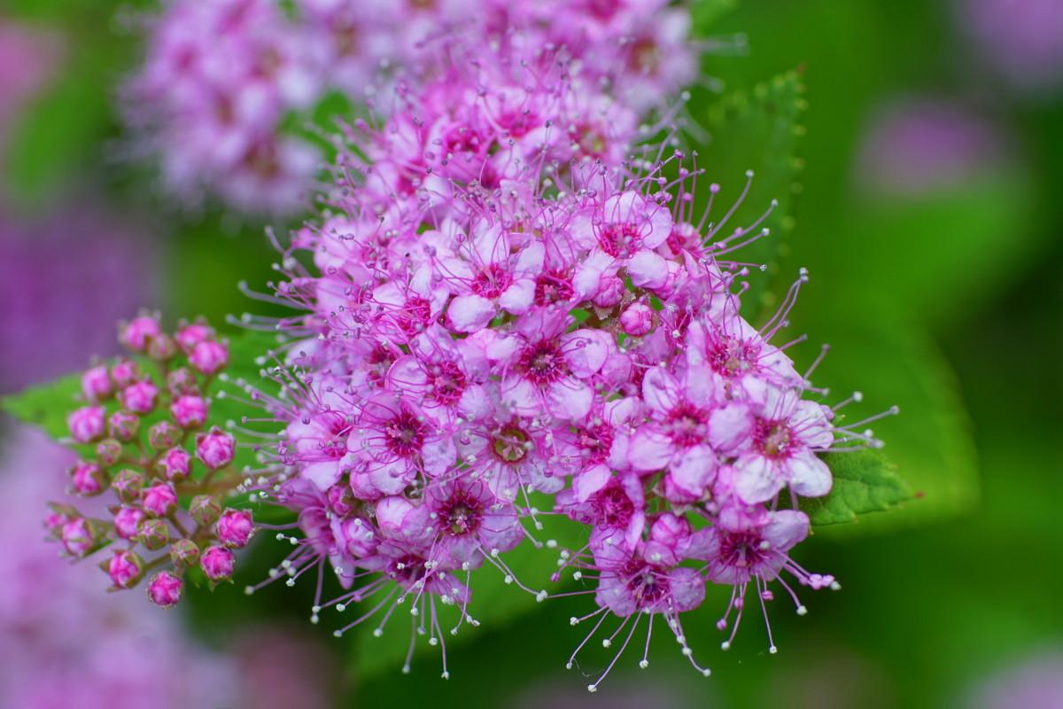 'Little Princess' Spirea Flower