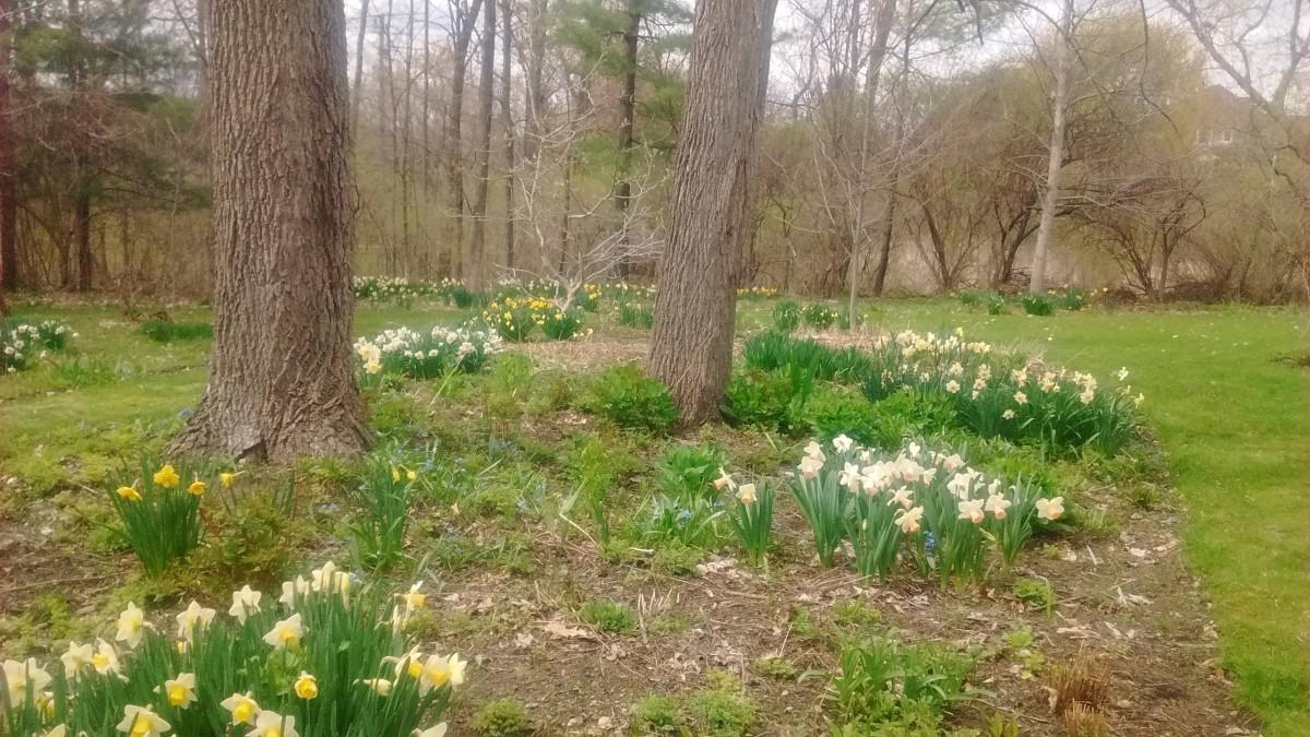Bulb flowers like daffodils grow well under black walnut trees.