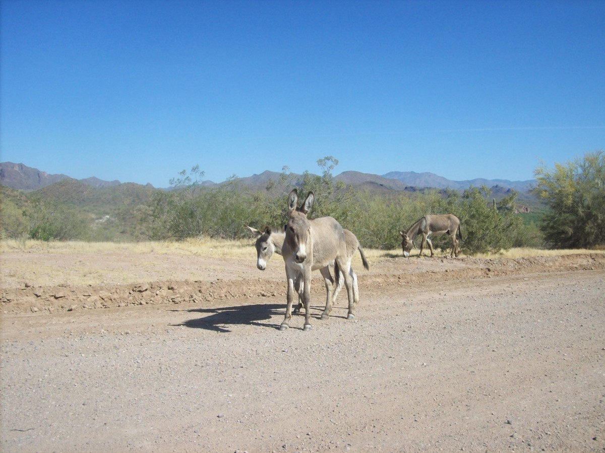 Burros range throughout all of the North American deserts.