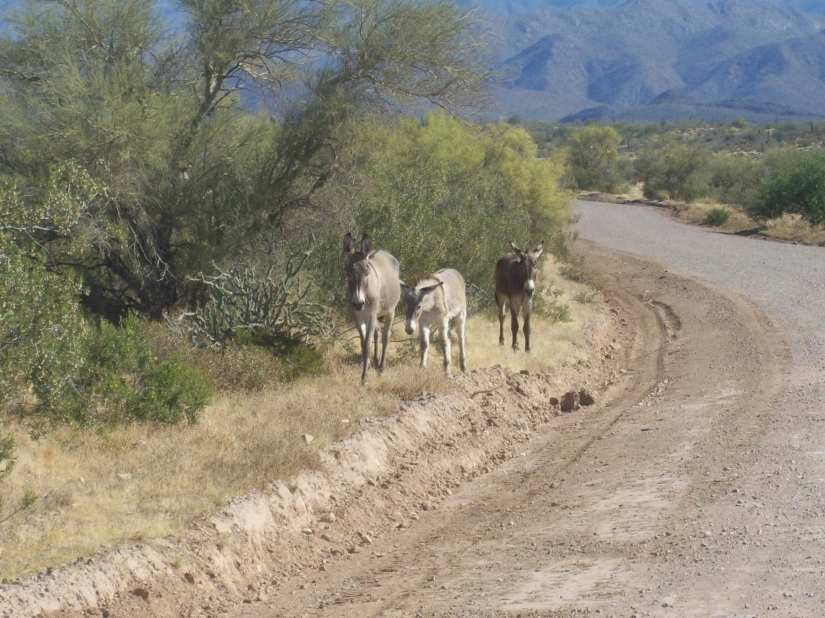 Arizona wild burros, the progeny of 16th - 19th century prospectors, are perfectly adapted to desert conditions.