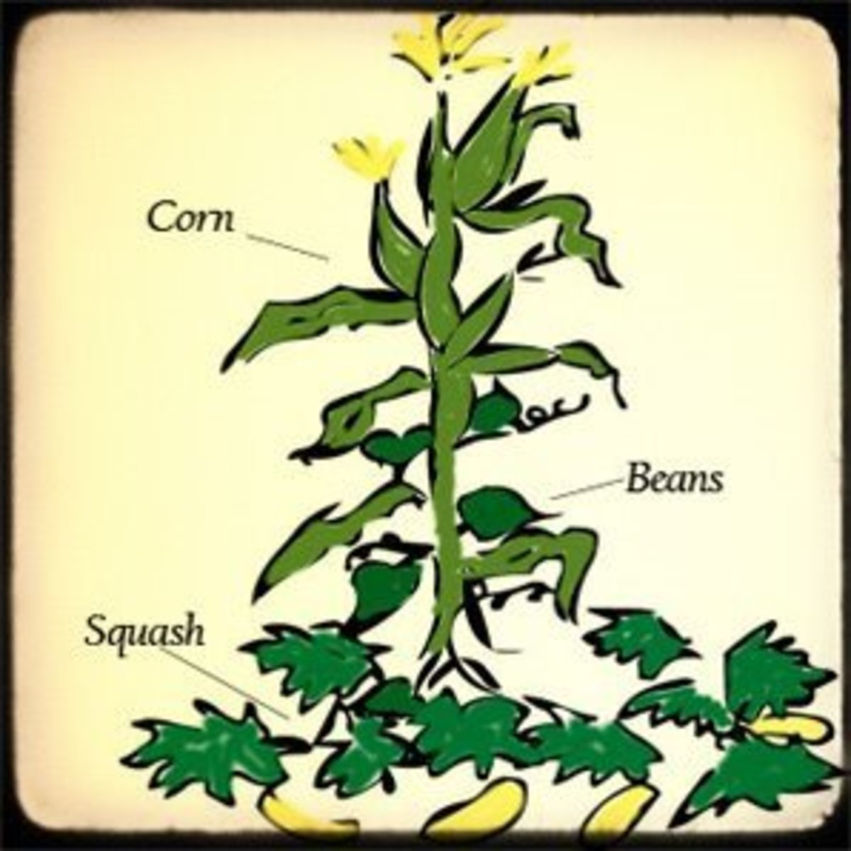 Corn, Beans, and Squash: The Three Sisters