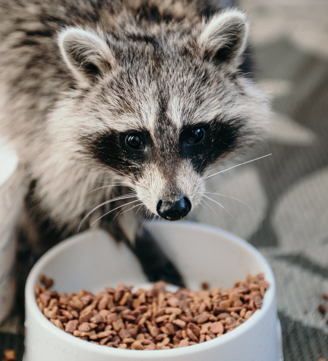 Raccoons LOVE pet food. If you leave any pet food out, they will certainly find it and keep coming back for more.
