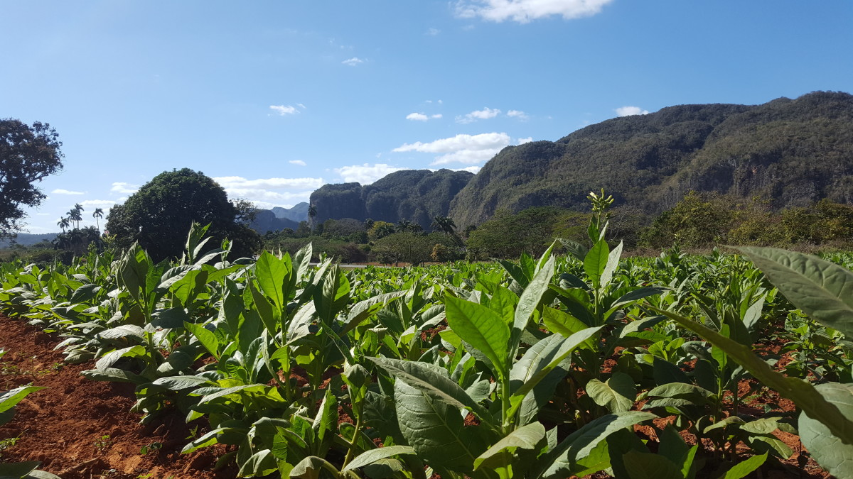 A tobacco plantation in the westernmost province of Cuba, Pinar del Rio.