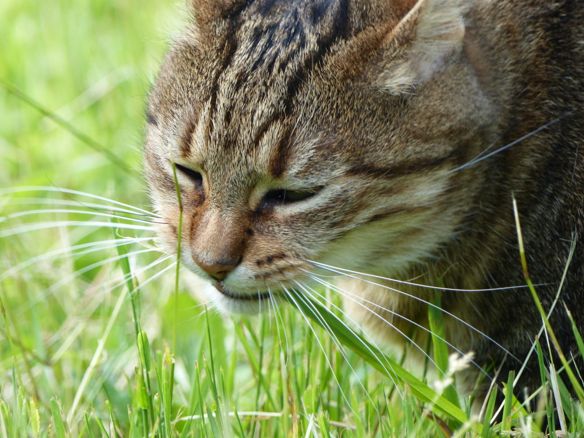 Does your cat eat grass?