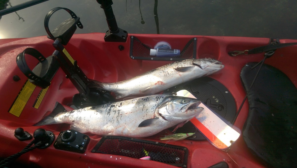 When trolling for salmon in a kayak, line counter reels allow me to target salmon suspending just below bait balls. On this day it paid off with a quick limit!