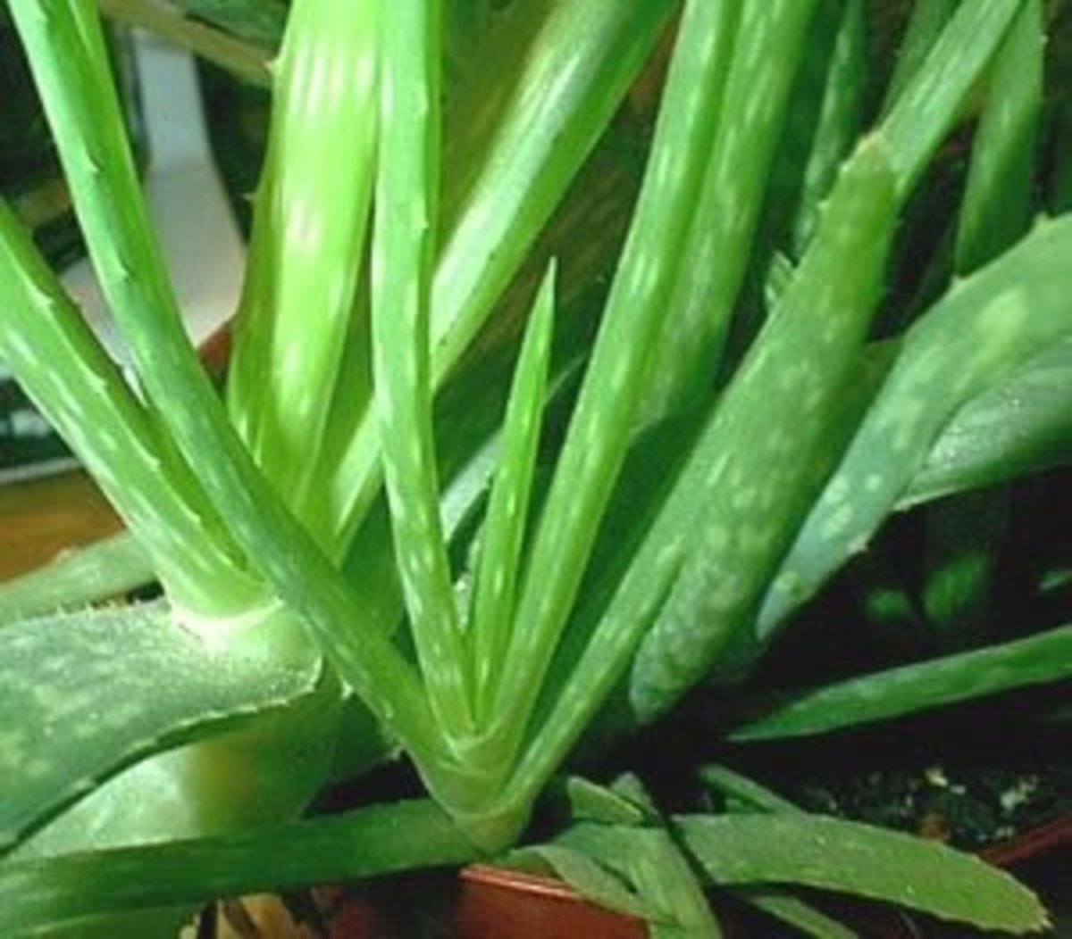 how-to-start-a-aloe-vera-project-small-project
