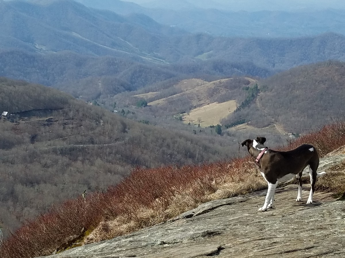 Our hiking partner, Versa, takes in the view from the northern section of the Appalachian Trail.