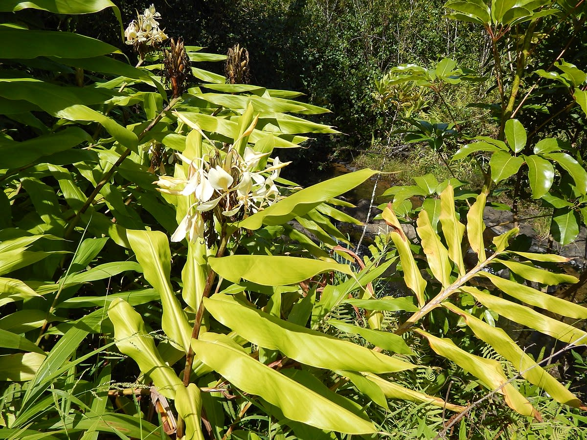 Hedychium flavescens (Yellow ginger)