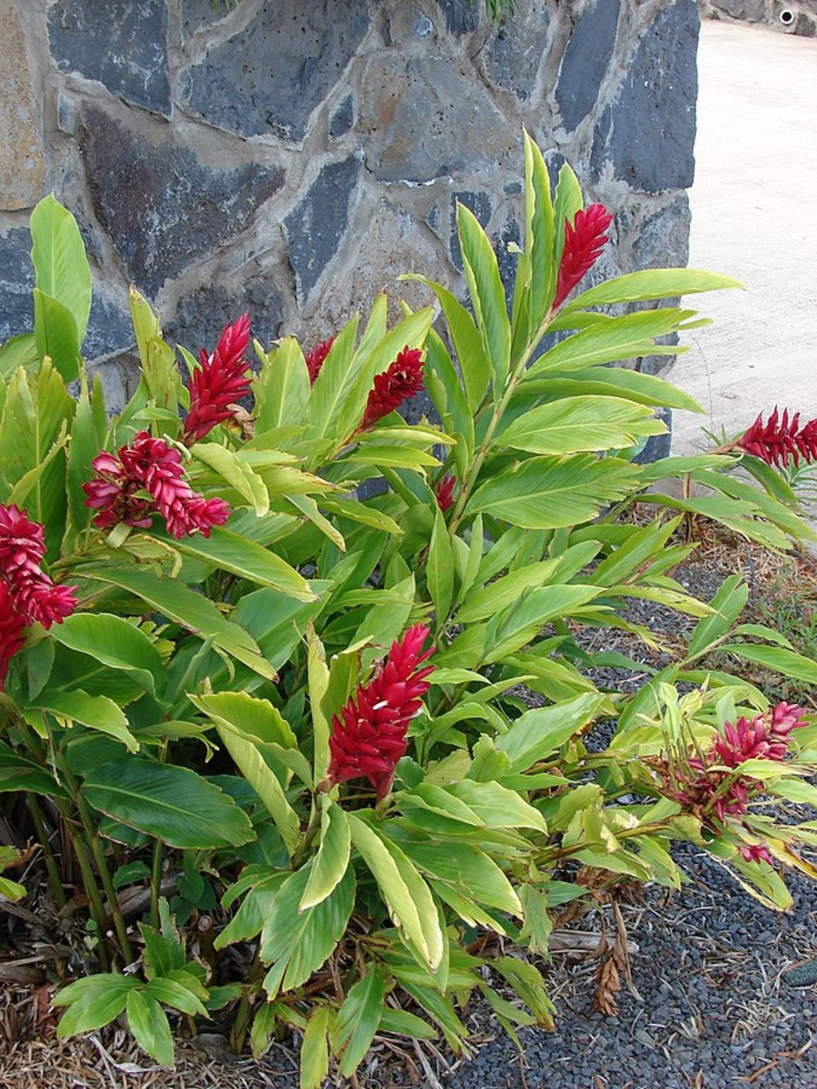 Alpinia purpurata (Red ginger, pink ginger)