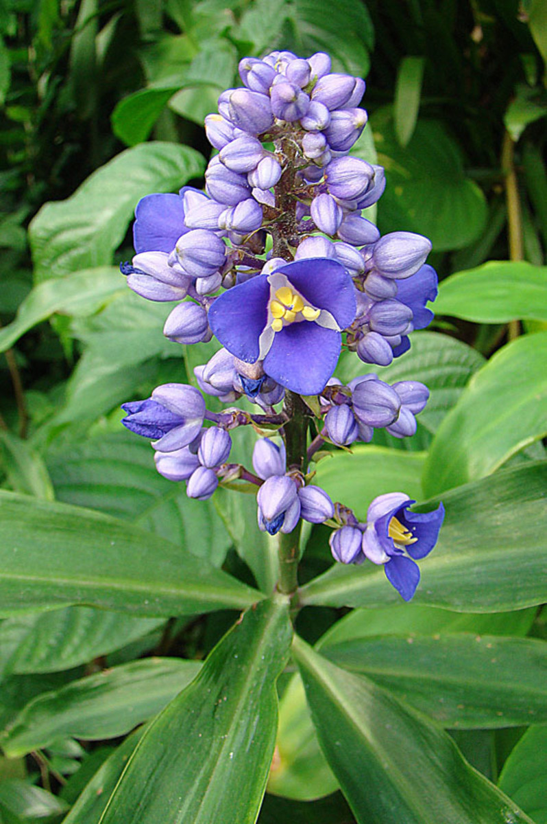Also known as Blue Ginger. Neotropical in origin but usually met in gardens, in this case KEW Gardens, London.