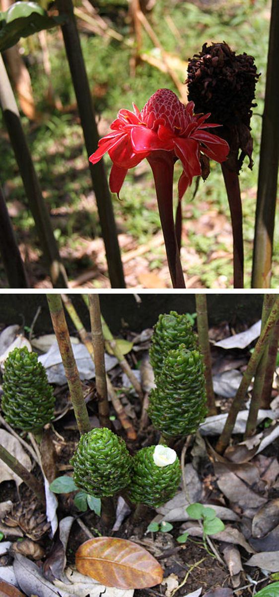 Gingers: young buds - flowering - withered
