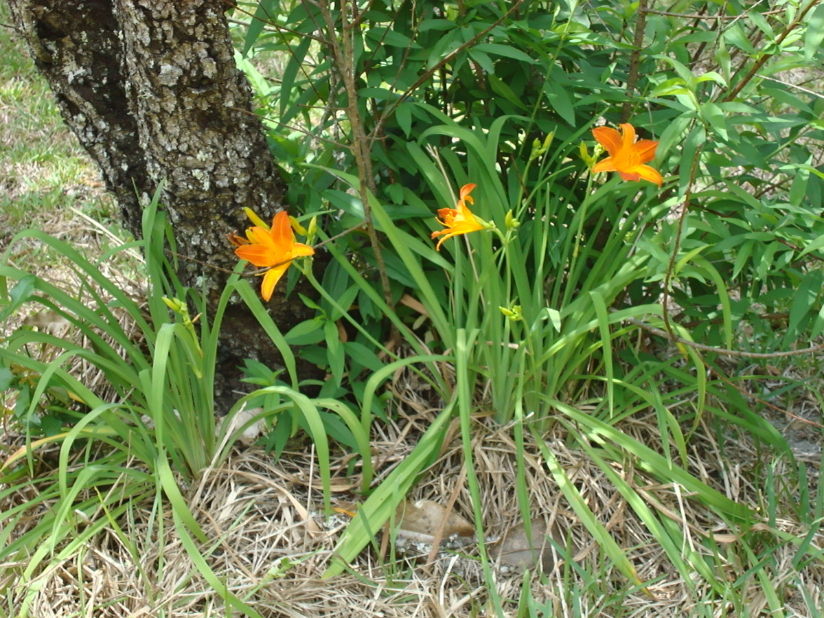 Keep America Beautiful---My Three Lilies Helps the Beauty of Our Land.