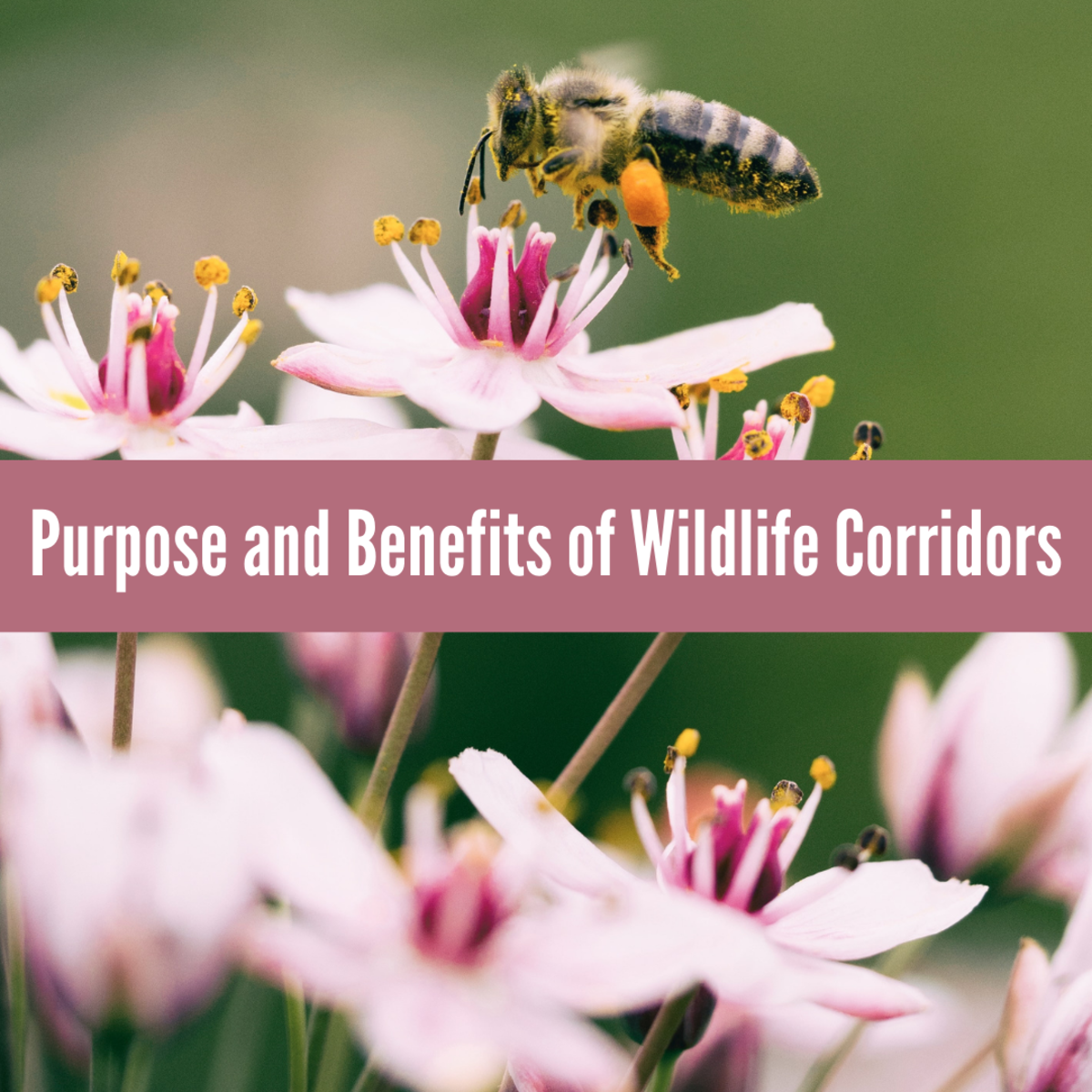 Learn about the problems with population fragmentation and how wildlife corridors could help solve them.