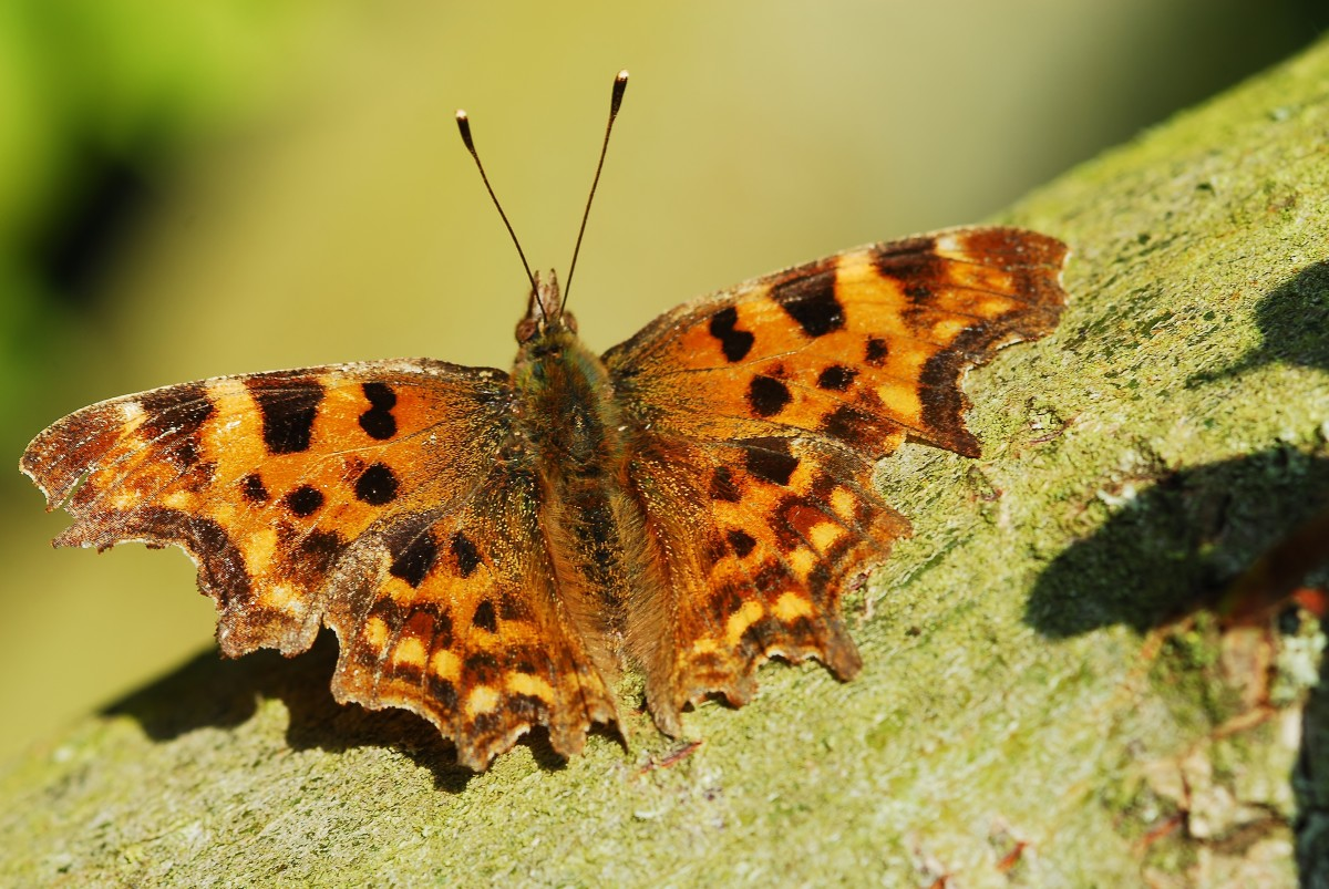A comma butterfly rests on a branch